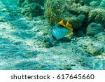 Small photo of Sergeant Major fish in coral sea Abudefduf saxatilis