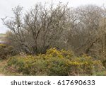 Yellow Flowering Gorse Bush...