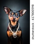 Small photo of Puppy, dog, toy terrier portrait on a black background. Portrait of dog. woman. Ladies and gentlemen. The concept of duality. Toy terrier in a hat. Toy terrier in pearl beads.