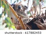 a cute koala sleeping in a tree ... | Shutterstock . vector #617882453