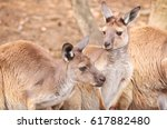 a portrait of two kangaroos on... | Shutterstock . vector #617882480