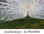 White Albino Peacock Standing...
