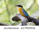 blue winged pitta alone on... | Shutterstock . vector #617904926