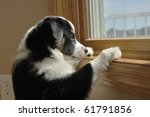 Tricolor Australian Shepherd (Aussie) Puppy Looking Out a Window - stock photo