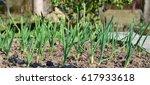 spring garlic plant  south... | Shutterstock . vector #617933618