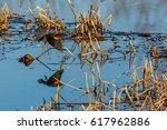 Male Adult Red Winged Blackbir...