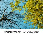 maple tree in early spring.... | Shutterstock . vector #617969900