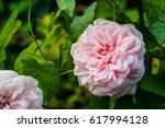 flowers pink tea rose | Shutterstock . vector #617994128