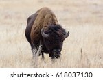Wild American Bison On The Hig...