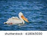 White Pelican Swimming In Blue...