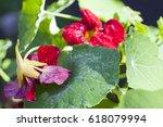 Nasturtium  Indian Cress ...