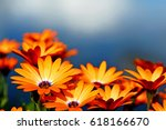 bright orange daisies along the ...   Shutterstock . vector #618166670
