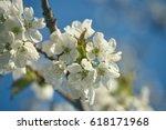 spring flowering cherry  white...