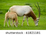 Scimitar Horned Oryx With Baby.