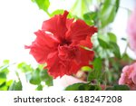Chinese Hibiscus Red Flower...