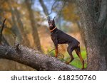 Doberman Pinscher Dog Standing...