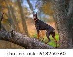 Doberman Pinscher Dog Standing...