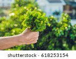a bunch of mint in hand and a...   Shutterstock . vector #618253154