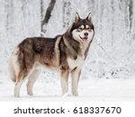 Brown Siberian Husky Standing...