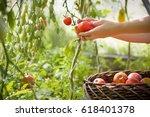 woman's hands harvesting fresh... | Shutterstock . vector #618401378