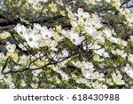 White dogwood tree or cornus...