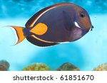 Achilles Tang or Surgeon Fish in Aquarium - stock photo