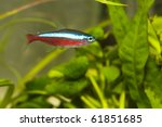 Neon Cardinal Tetra in Aquarium - stock photo