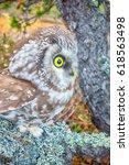 Small photo of Wood spirit. Portrait of boreal owl (Tengmalm's owl, Aegolius funereus) in characteristic interior of Northern taiga (boreal coniferous forest)