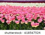 Beautiful Pink Tulips Field...