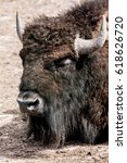 Small photo of The American bison, also commonly known as the American buffalo