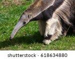giant anteater  myrmecophaga... | Shutterstock . vector #618634880
