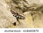 A Head Shot Of A Wall Lizard ...