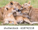 Resting Lions Flock With A...