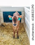 Small photo of Young calf Jersey breed in a stall for calves with straw