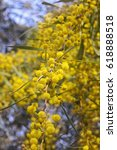 Small photo of Acacia dealbata (known as silver wattle, blue wattle or mimosa) growing outdoors