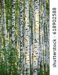 Birch Forest In Sunlight In Th...