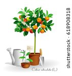 mandarin tree with its latin... | Shutterstock .eps vector #618908318