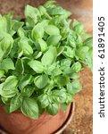 Plant basil in pots - stock photo
