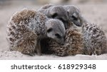 meerkats sleeping in a group.... | Shutterstock . vector #618929348