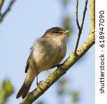 chiffchaff  phylloscopus... | Shutterstock . vector #618947090