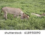 nuzzling lionesses in grassy... | Shutterstock . vector #618950090