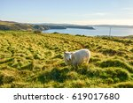 sheep isolated on field ...   Shutterstock . vector #619017680