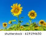 Yellow Flowers Of Sunflower....