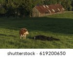 Cows On Green Meadow In Sunset...