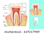 tooth structure. medical... | Shutterstock .eps vector #619217909