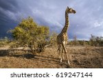 giraffe in kruger national park ... | Shutterstock . vector #619247144
