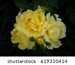 Stock photo roses 619310414