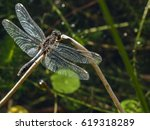 Lilypad Whiteface Dragonfly  ...