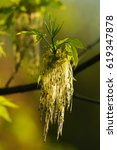 Small photo of Acer negundo - flowering maple tree - - natural spring green background