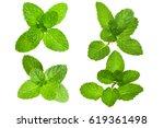 fresh herb leaf. mint leaves... | Shutterstock . vector #619361498